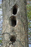 Wildlife Den Tree. Hollow trees and snags are important habitats for many wildlife species such as birds, mammals, reptiles, and amphibians who use the shelter Royalty Free Stock Photo