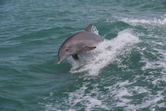Wildlife dolphin jumping waves Stock Photo
