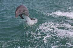 Wildlife dolphin jumping waves Stock Images