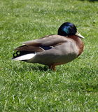 A wildlife duck Royalty Free Stock Photo
