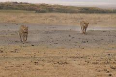 Wildlife, Ecosystem, Grassland, Savanna royalty free stock photography