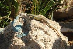 Wildlife of Egypt. Hurghada. Lizard on stone stock photography