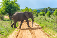 Wildlife - Elephant Royalty Free Stock Image