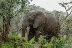 Wildlife - Elephant in the rain Royalty Free Stock Image