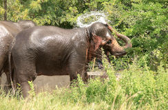 Wildlife of an elephant spraying water Royalty Free Stock Images