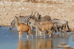 Wildlife at Etosha waterhole Royalty Free Stock Photos