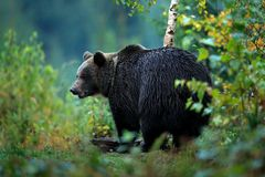 Wildlife from Europe. Autumn trees with bear. Brown bear feeding before winter. Slovakia mountain Mala Fatra. Evening in the green Stock Images