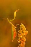 Wildlife Europe. Evening light with insect. Mantis on flower, Mantis religiosa, beautiful evening sun, Czech republic. Wildlife sc Stock Photos