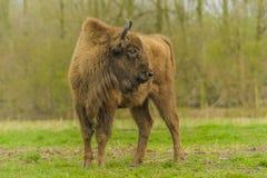 Wildlife - European Bison - Wisent Stock Image