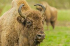 Wildlife - European Bison - Wisent Stock Photos
