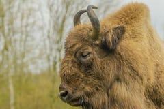 Wildlife - European Bison - Wisent Stock Images
