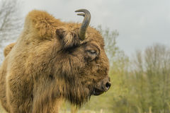 Wildlife - European Bison - Wisent Royalty Free Stock Photography
