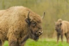 Wildlife - European Bison - Wisent Royalty Free Stock Image