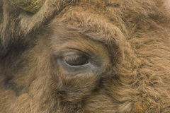 Wildlife - European Bison - Wisent Royalty Free Stock Photo
