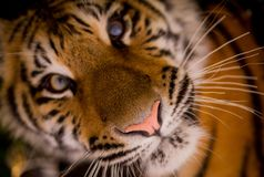 Wildlife, Face, Tiger, Whiskers Stock Photography
