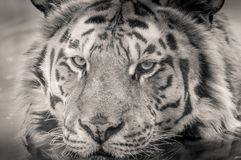 Wildlife, Face, Tiger, White Stock Images
