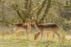 Wildlife - Fallow Deer Stock Images