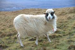 The wildlife in the Faroe Islands Royalty Free Stock Photo