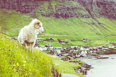 Wildlife in the Faroe Islands. Sheep on Vagar island. Faroe Islands. Denmark. Europe