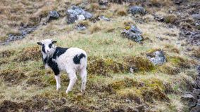 Sheep on Vagar island, Faroe Islands, Denmark, Europe