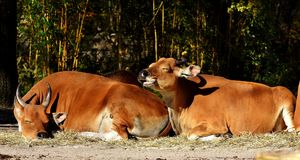 Wildlife, Fauna, Cattle Like Mammal, Grass Royalty Free Stock Photos