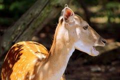 Wildlife, Fauna, Deer, Mammal Royalty Free Stock Photos