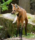 Wildlife, Fauna, Fox, Red Fox Stock Photos