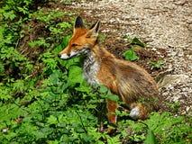 Wildlife, Fauna, Red Fox, Mammal royalty free stock photo