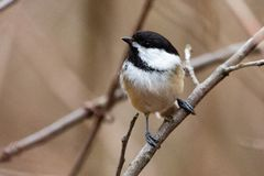 Wildlife Fauna Small Tiny Bird Birds Black Capped Chickadee royalty free stock photography