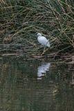 Wildlife feathered friends at the pond. White Egret bird balanced on one leg with reflection at estuary shoreline Stock Photo