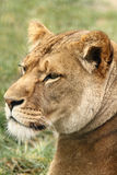 Wildlife, A female African Lion sitting alone Stock Photography