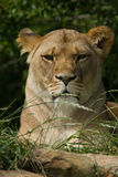 Wildlife, A female African Lion sitting alone Stock Photos