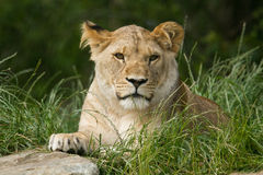 Wildlife, A female African Lion sitting alone. A female African Lion sitting in a field Royalty Free Stock Images