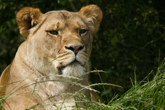 Wildlife, A female African Lion sitting alone Stock Photo