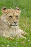 Wildlife, A female African Lion sitting alone Royalty Free Stock Images