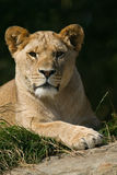 Wildlife, A female African Lion sitting alone Stock Image