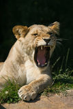 Wildlife, A female African Lion sitting alone yawning. A yawning female African Lion sitting in a field Royalty Free Stock Photos