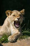 Wildlife, A female African Lion sitting alone yawning Royalty Free Stock Photography