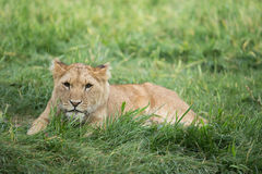 Wildlife, A female cub African Lion sitting alone Royalty Free Stock Photo