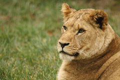 Wildlife, A female cub African Lion sitting alone. A female African Lion cub sitting in a field Royalty Free Stock Photography