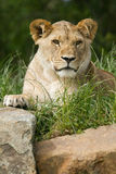 Wildlife, A female cub African Lion sitting alone Stock Photo