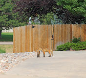 Wildlife Female fox and pup in residential neighborhood Royalty Free Stock Images