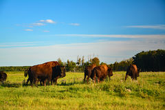 Wildlife, a few bison looking and walking in the field of Canada Royalty Free Stock Photo