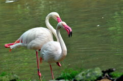 Wildlife flamingo Stock Images