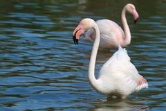 Wildlife flamingo in the water royalty free stock photos