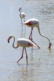 Wildlife: Flamingos in Camargue. Flamingos or flamingoes are gregarious wading birds in the genus Phoenicopterus and family Phoenicopteridae. The Camargue is Stock Image