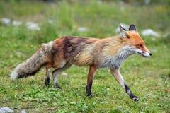 Wildlife fox Royalty Free Stock Images