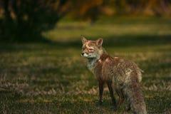 Wildlife, Fox, Red Fox, Fauna Royalty Free Stock Photos