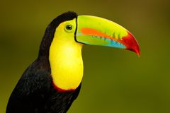 Free Wildlife From Yucatán, Mexico, Tropical Bird. Toucan Sitting On The Branch In The Forest, Green Vegetation. Nature Travel Holiday Royalty Free Stock Images - 153751489