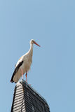 Wildlife German Stork Stock Photo